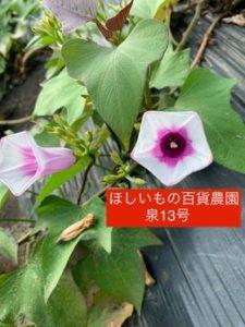 泉13号の花